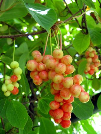 nice branch of red useful ripe schizandra photo