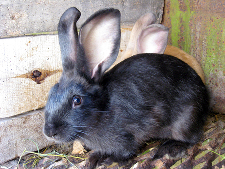 image of small nice black and red rabbits