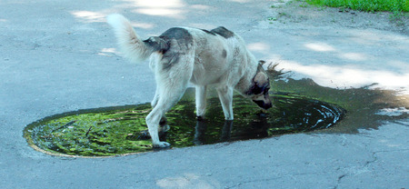 Big dog drinking water from poll slaking its thirst photo