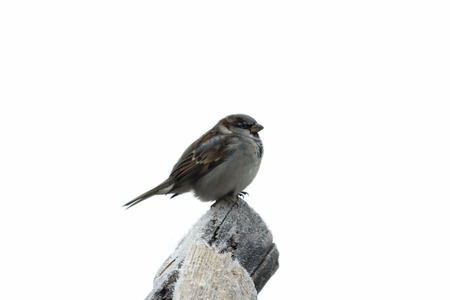 Amusing sparrow on the tree with hoarfrost in winter isolated on the white background photo