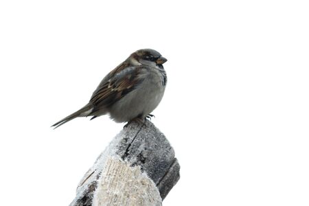 sparrow on the wood with hoarfrost in winter isolated photo