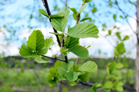 alder tree: branch of young leaves of alder in the spring