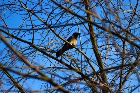 daw: Hooded crow on the branch of the tree in spring