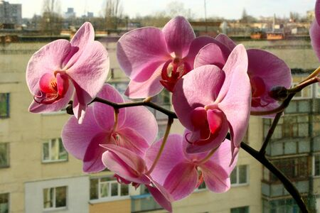 orchid house: big and beautiful branch of the blossoming pink orchid on the background of multistorey house Stock Photo