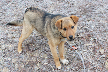 cur: small grey rural dog in collar eating