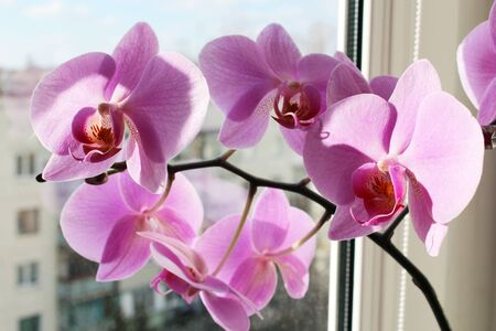 colorful flowers: branch of blossoming pink orchid on the window