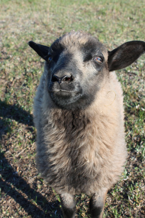steadfast: sheep asking something and looking intently on the green grass Stock Photo