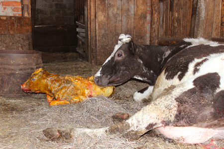 looking after: mother cow carefully looking after its just newborn calf