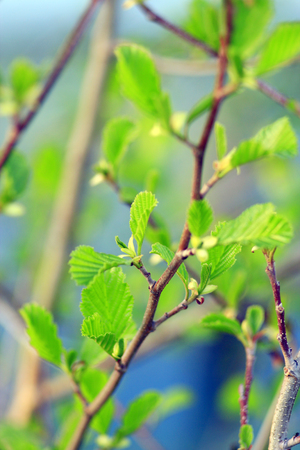 alder: branch of young leaves of alder blossoming out in the spring Stock Photo