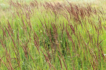 thicket: thicket of high green grass in the field Stock Photo