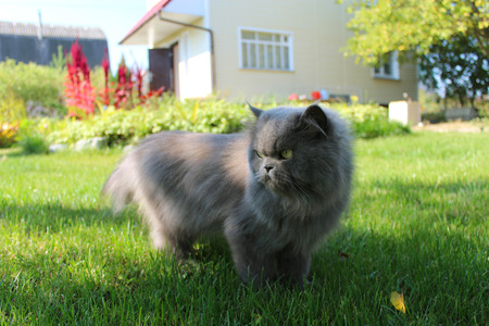 unruffled: nice Persian cat going for a walk on the green grass Stock Photo