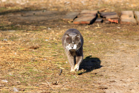 unruffled: rural cat going for a walk in the village