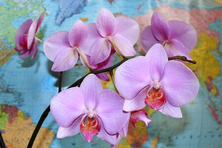 beautiful branch of the blossoming pink orchid near the worlds map