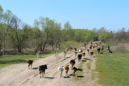 herdsman: cows coming back from pasture in the evening Stock Photo