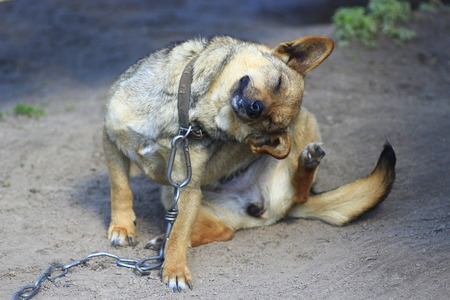 oneself: Scratching oneself rural dog tied by chain