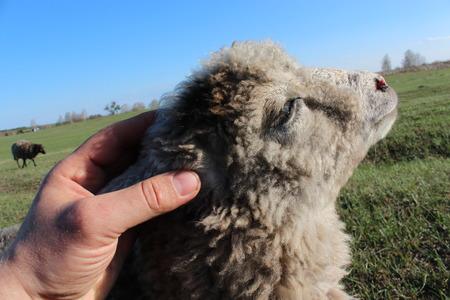 cherish: Human hand strokes sheep on the head Stock Photo