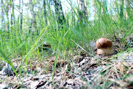 mycelium: image of beautiful and small cep in the grass