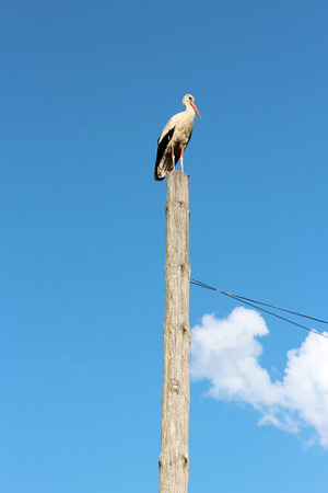 posterity: stork standing on the rural telegraph-pole on the background of the blue sky