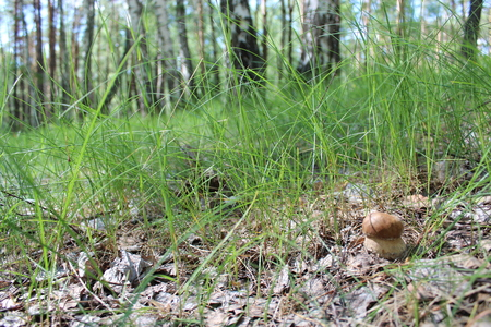 cep: image of beautiful and small cep in the grass