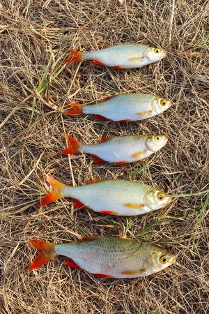 rudd: fresh beautiful caught rudd laying on the grass. Lucky fishing Stock Photo