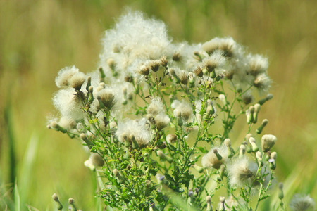 sapless: some dry blooming agrimonies in the field