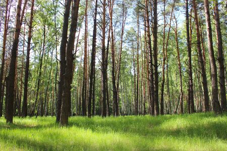crone: image of beautiful birchwood in the spring in May Stock Photo