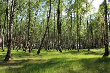 birchwood: image of beautiful birchwood in the spring in May Stock Photo