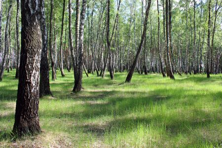 birchwood: beautiful birchwood in the spring in May
