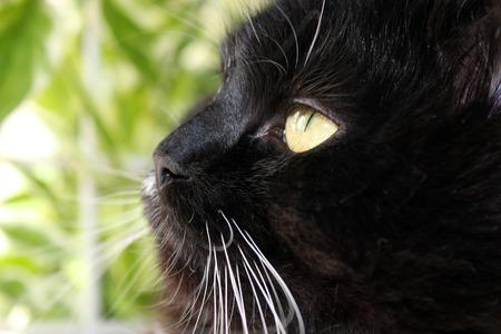 gaze: close-up of muzzle of black gaze cat