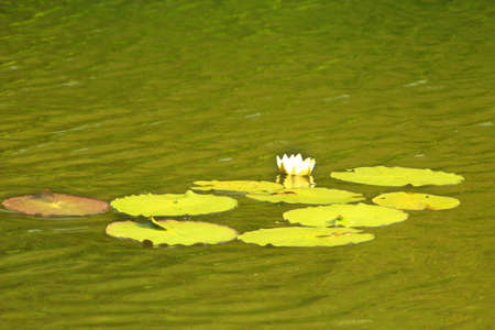 morass: white flower of Nuphar lutea in the pond