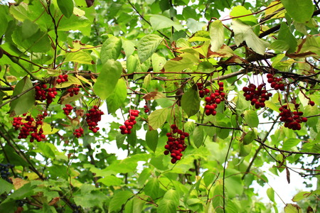many branches: many branches of red useful ripe schizandra Stock Photo