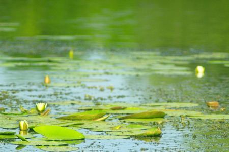 mire: white flower of Nymphaea alba on the surface of pond Stock Photo