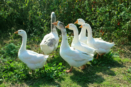 waddling: flight of white house geese in the yard