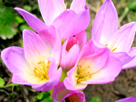 colchicum autumnale: beautiful pink flowers of Colchicum autumnale blossoming in the Autumn