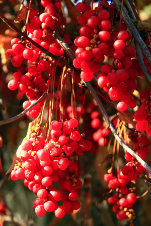 officinal: branches of red and ripe schisandra in the garden Stock Photo