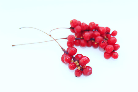 tak van rode rijpe schisandra geïsoleerd op de witte