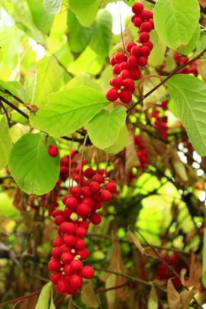 takken van rode en rijpe schisandra in de tuin