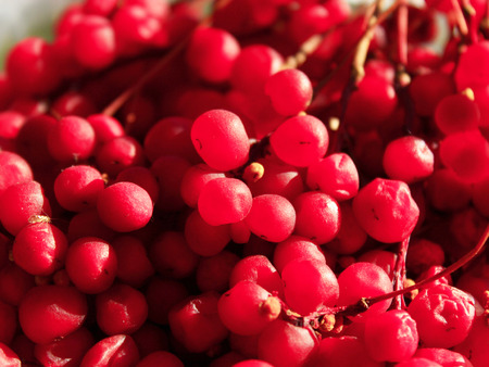 harvest: rich harvest of ripe and red schizandra