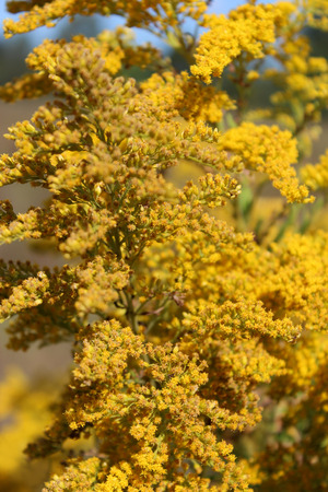 fever plant: yelow flowers goldenrod growing on the meadow Stock Photo