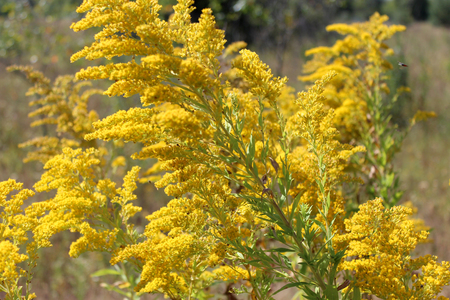yelow: yelow flowers goldenrod growing on the meadow Stock Photo