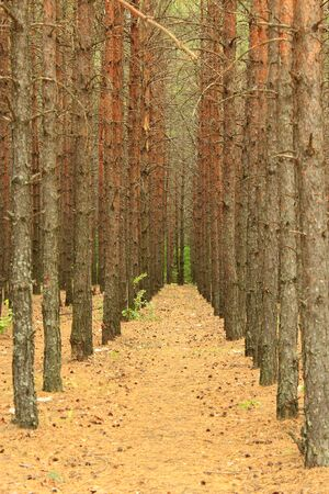 bole: landscape with pine forest growing in row Stock Photo