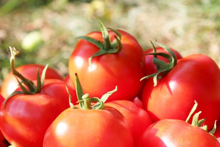 rijke oogst van rijpe en rode tomaten