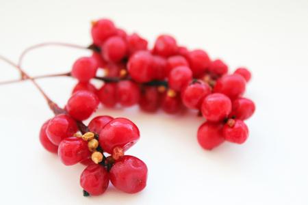 빨간색 잘 익은 오미자의 분기 흰색에 격리 스톡 콘텐츠 - 48636229