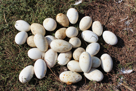 white goose eggs on the green grass