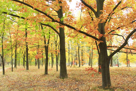 yellow trees: Autumn park with beautiful oaks and maples in yellow trees Stock Photo