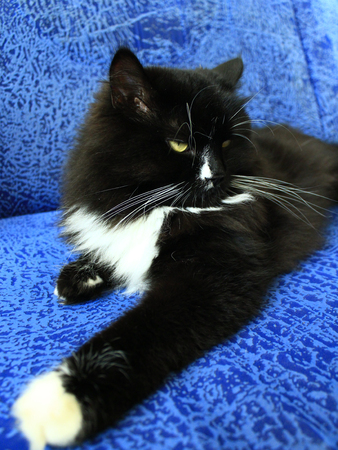 cosiness: black tired cat lays on the blue sofa