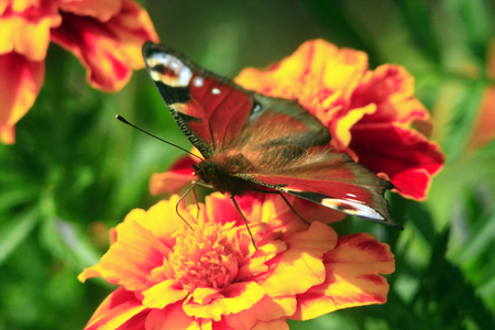 io: beautiful butterfly of peacock eye on the marigolds Stock Photo