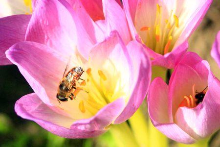 colchicum autumnale: bee on the beautiful pink flowers of Colchicum autumnale blossoming in the Autumn