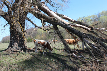 huge tree: cows grazing on the pasture near the huge fallen tree Stock Photo