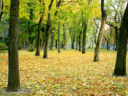 festive occasions: Autumn park with trees and carper from yellow leaves